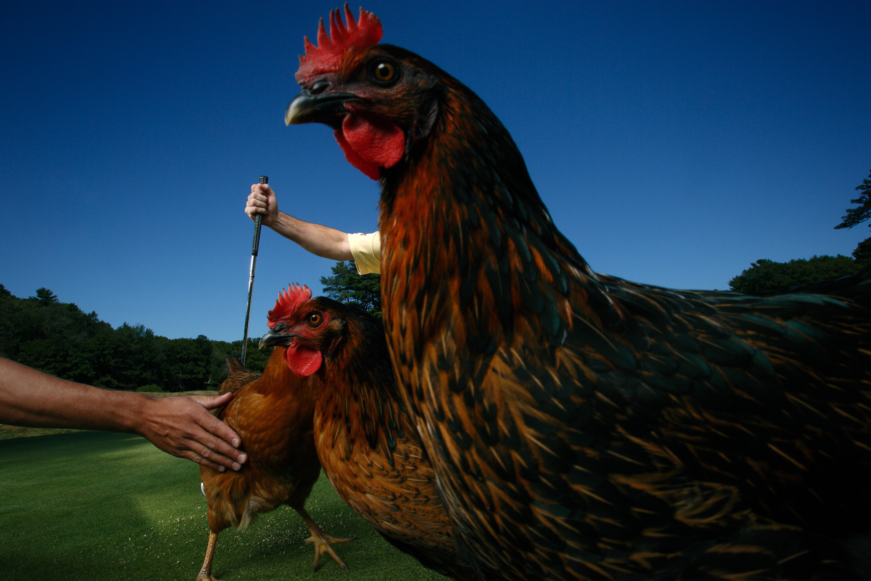 Cock-a-doodle-doo chicken fertilizer for Sports Illustrated • Jason Grow Photography